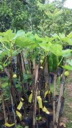 mudas lindas florando ou com fruto