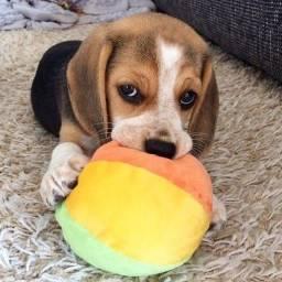 Título do anúncio: beagle - filhotes disponpiveis