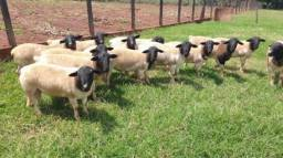 Carneiros, ovelhas e Orientações técnicas Ko