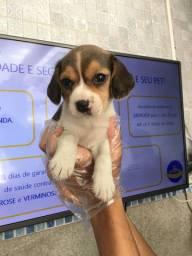 Beagle filhotes brasil macho e fêmea