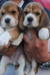 Beagle - Lojas físicas . Babys pronta entrega