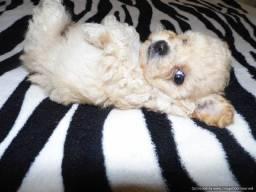 Poodle toy minúsculo (macho)