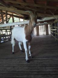 Cabra e cabritos Boer