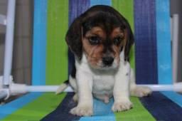 Beagle tricolor 13 Polegadas (mini beagle)