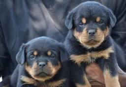 Incríveis filhotes de Rottweiler