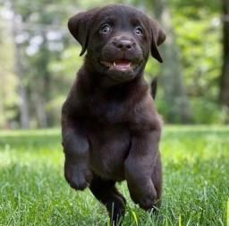 Título do anúncio: Lindos filhotes de Labrador