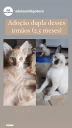 Gatinhos para adoção (casal, 2.5 meses)