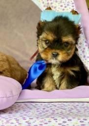 Yorkshire Terrier macho e fêmea na promoção