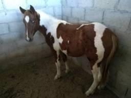Cavalo, potro, potra, egua vendo