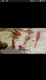 Filhotes de carpa coloridas