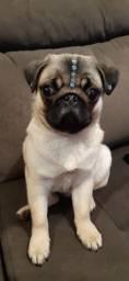 Macho pug com 6 meses
