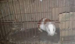 vendo porquinho da Índia vai com a gaiola