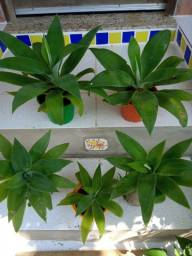 Cactus bola, Lírio da Paz, Pescoço de Cisne (Tromba de elefante), Bromélia Espada de Fogo