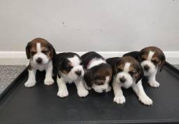 Beagle, macho e fêmea com garantias de vida e saúde!