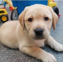 Labrador - Filhotes de Ótima Linhagem !!!!