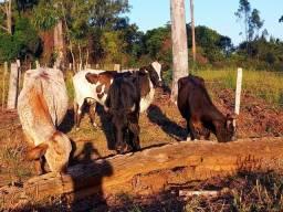 Lote de vacas leiteiras