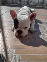 Bulldog machinho disponível