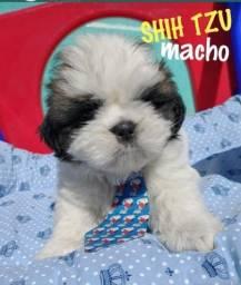 Título do anúncio: Shihtzu Macho Com Manual de Cuidados