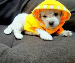 Título do anúncio: Poodle mini toy