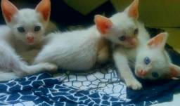 Doação de gatinhos Ciameses