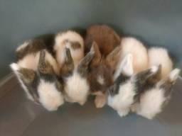 Mini coelhos Teddy Dwerg
