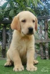 Labrador muito top!