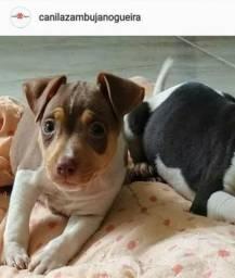 Filhotes de Terrier Brasileiro Fox Paulistinha