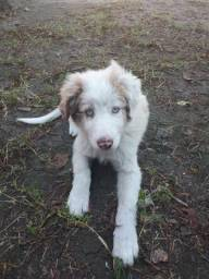 Border Collie Red Merle Filhote