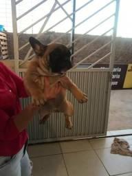 Filhote d bulldog francês com pedigree