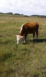 Vacas com cria e touro
