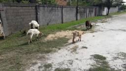 Cabras e bodes