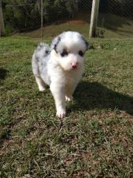 Reservas de Border collie blue merle