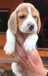 Beagle inglês top/