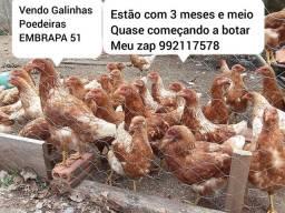 Galinhas Poedeiras EMBRAPA 51