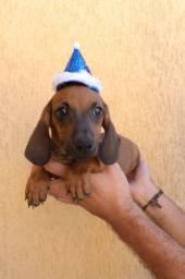 Basset dachshund macho
