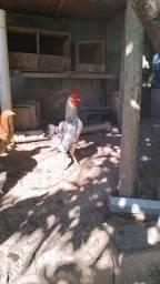 Vendo dois frangos caipirao . R$40.00 cada.