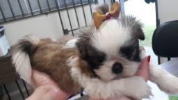 Cachorro Shitzu fêmea R$800,00