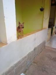 Título do anúncio: Vende se um cachorro da raça Pinscher