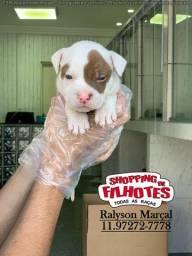 Título do anúncio: American Pitbull filhotes lindos retirada/entrega para hoje