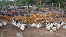 Ovos Galados de Galinhas de raça - Ovos férteis de galinhas ornamentais e de produção