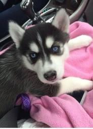 Lindas! Fêmea de Husky Siberiano Filhote com Pedigree