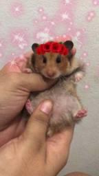 Título do anúncio: Hamster fêmea