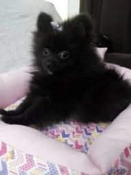 Bela filhote black lulu fêmea
