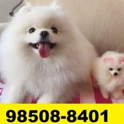 Canil em BH Filhotes Cães Top Lulu Pug Lhasa Maltês Poodle Beagle Yorkshire Shihtzu