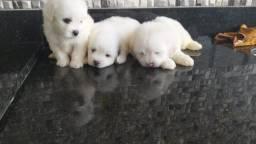 I lindos filhotes de lhasa apso
