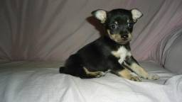 Chihuahua com Pinscher