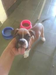 Cão boxer puro