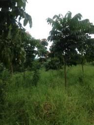 Árvores  mogno