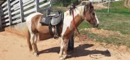 Cavalo Lindo, meio sangue Campolina