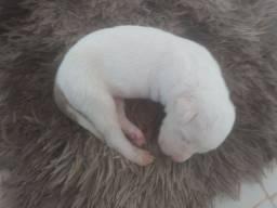 Vendo filhote de Pitbull  (Femia) <br>Mais informações entra em contato *